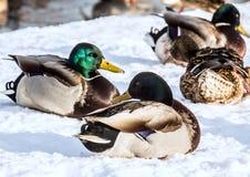 Стадо крякв на снеге Птицы на пруде в предыдущей весне Стоковая Фотография RF