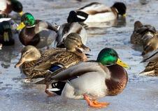 Стадо крякв на снеге Птицы на пруде в предыдущей весне Стоковое Изображение