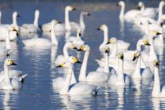 Стадо лебедя Стоковые Фото