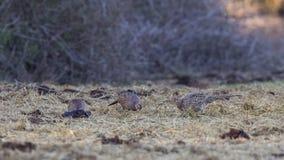 Стадо общего фазана подавая на траве Стоковые Фотографии RF