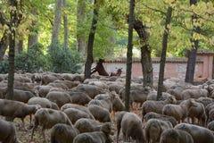 Стадо овец в парке в Мадриде стоковое изображение