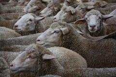 Стадо овец в парке в Мадриде стоковое изображение rf