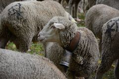 Стадо овец в парке в Мадриде стоковое фото rf