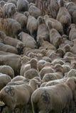 Стадо овец в парке в Мадриде стоковые фото