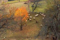 Стадо овец в природе осени в Болгарии стоковые фотографии rf