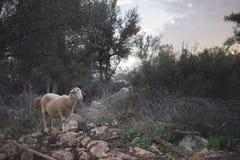 Стадо овец ждать чабана Стоковые Фотографии RF