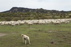Стадо овец и собаки табунить Стоковые Фото