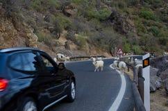 Стадо овец на ждать дороги и автомобиля Стоковое Изображение RF