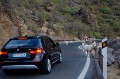 Стадо овец на ждать дороги и автомобиля Стоковые Изображения