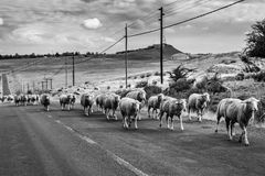 Стадо овец на сельском raod, черно-белое стоковые фотографии rf