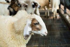 Стадо овец на ферме стоковые изображения