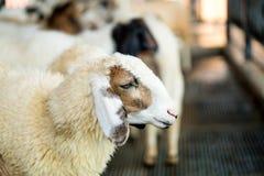Стадо овец на ферме стоковое изображение