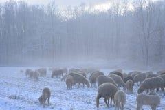 Стадо овец пасет на покрытом снег поле