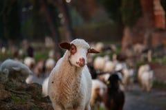Стадо овец пасет на старом Appia стоковые фото