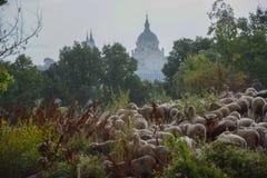 Стадо овец пася в парке в Мадриде стоковое фото rf