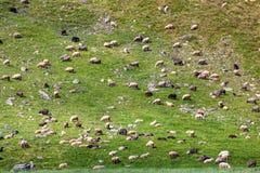 Стадо овец пася на наклоне травы стоковые фотографии rf