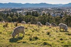 Стадо овец merino пася на холмах Wither над Blenheim, Новой Зеландией Стоковые Фотографии RF