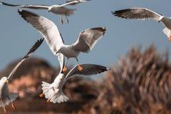 Стадо приземляться чайок Птицы взморья чайки в полете стоковые фотографии rf