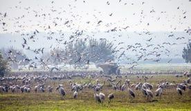 Стадо проникать общий grus Grus кранов, aka евроазиатские краны, зимовка в озере Hula стоковые изображения rf