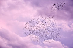 Стадо птиц в небе сирени стоковые фотографии rf