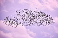 Стадо птиц в небе сирени стоковая фотография rf