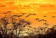 Стадо птиц летая прямо вперед в небо захода солнца стоковые изображения rf