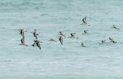 Стадо птиц над карибским морем стоковая фотография rf