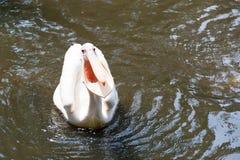 Стадо птиц пеликана в озере Стоковые Фото