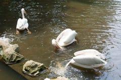 Стадо птиц пеликана в озере Стоковые Изображения