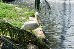 Стадо птиц пеликана в озере Стоковое Изображение RF