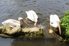 Стадо птиц пеликана в озере Стоковое фото RF