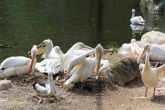 Стадо птиц пеликана в озере Стоковая Фотография RF