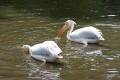 Стадо птиц пеликана в озере Стоковая Фотография