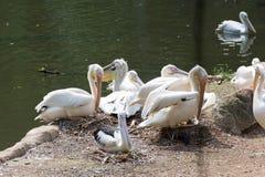 Стадо птиц пеликана в озере Стоковые Фотографии RF
