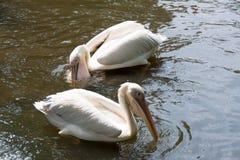 Стадо птиц пеликана в озере Стоковые Изображения RF