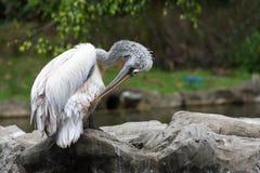 Стадо птиц пеликана около пруда Стоковое Изображение