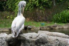 Стадо птиц пеликана около пруда Стоковые Изображения RF