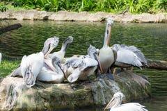 Стадо птиц пеликана около пруда Стоковая Фотография RF