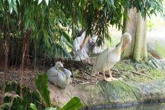 Стадо птиц пеликана около пруда Стоковое фото RF