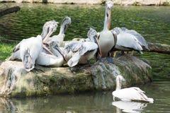 Стадо птиц пеликана около пруда Стоковое Изображение RF