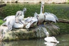 Стадо птиц пеликана около пруда Стоковые Изображения