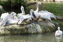 Стадо птиц пеликана около пруда Стоковые Фото