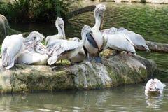 Стадо птиц пеликана около пруда Стоковая Фотография