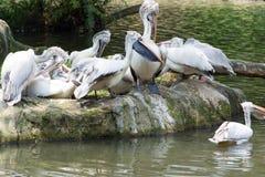 Стадо птиц пеликана около пруда Стоковые Фотографии RF