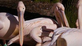 Стадо розовых пеликанов акции видеоматериалы