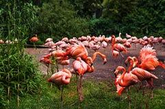 Стадо розовых фламинго на зеленой предпосылке Стоковые Фотографии RF