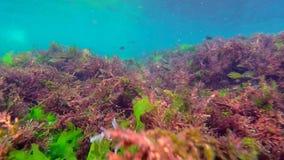 Стадо рыб прячет в водорослях видеоматериал