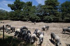 Стадо свинины cinta senese на выгоне стоковое фото