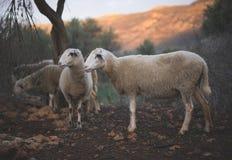 Стадо турецких овец пася Стоковое Изображение