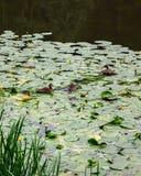 Стадо уток в пруде Стоковые Фотографии RF